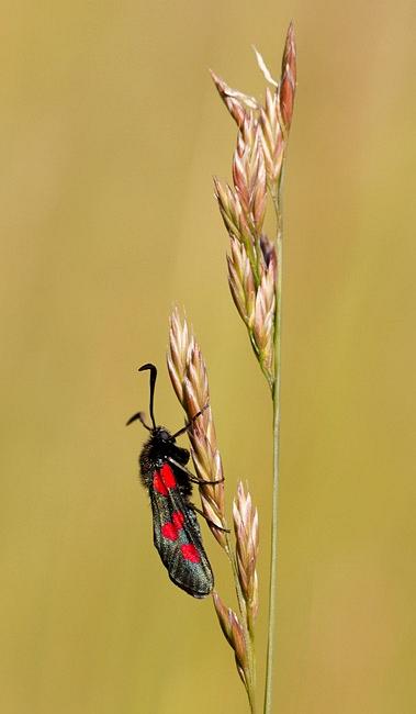 Vijfvlek Sint Jansvlinder