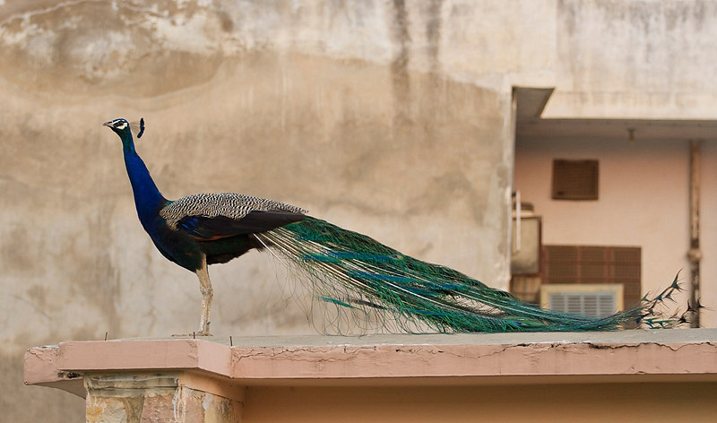 Blauwe Pauw