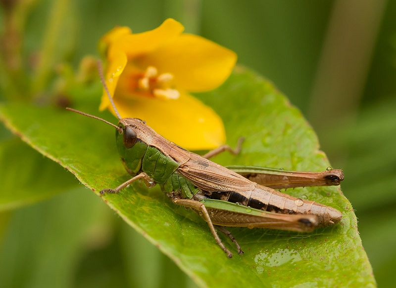 Sprinkhaan ssp