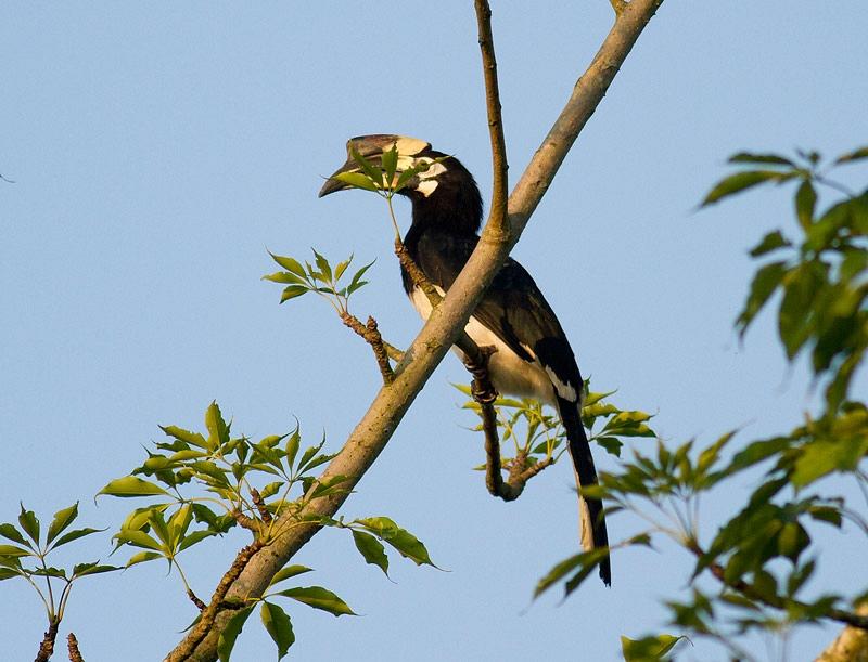 Bonte Neushoornvogel