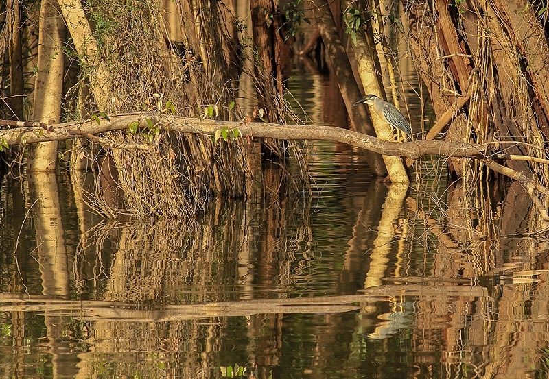 Mangrovereiger