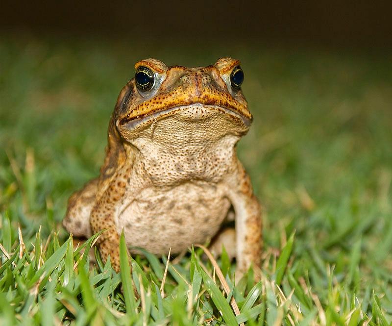 Cururu toad