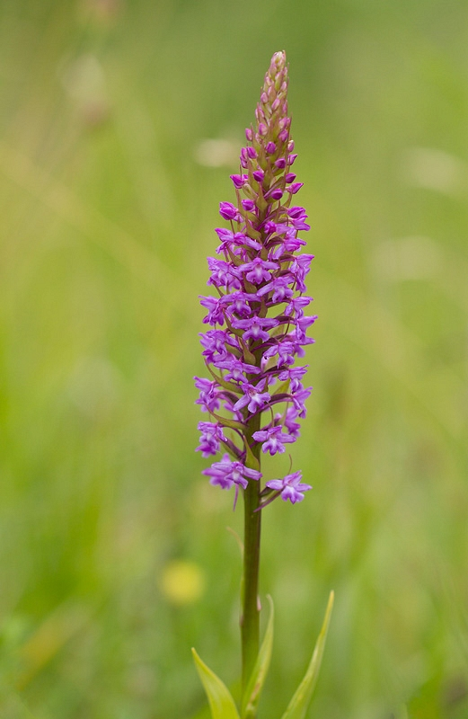 Grote muggenorchis