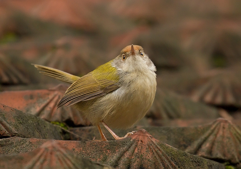 Langstaartsnijdervogel