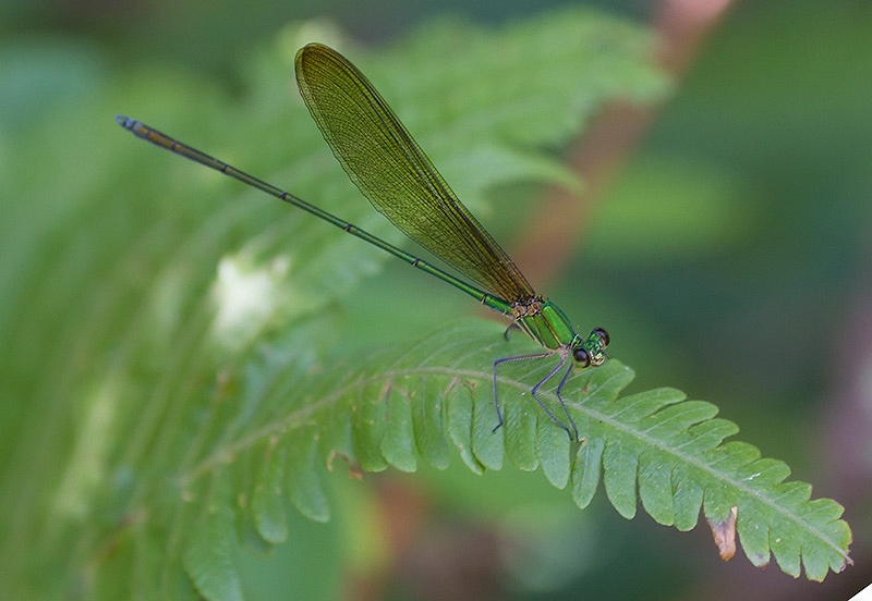 Clear-winged Forest Glory