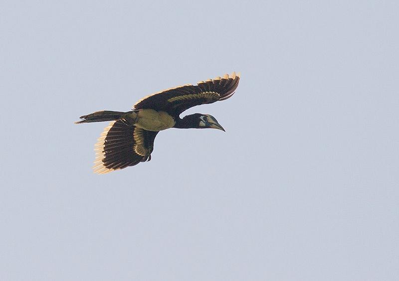Indische Neushoornvogel