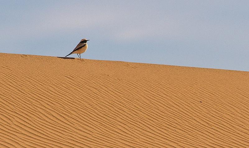 Woestijntapuit