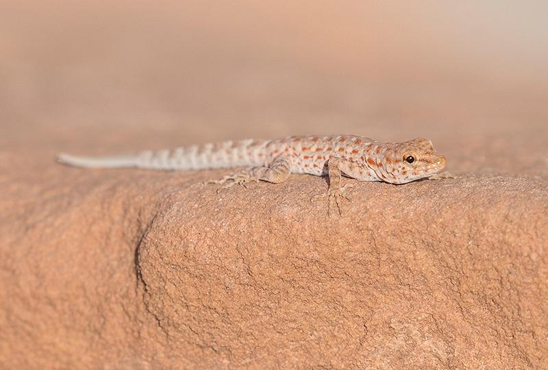 Rock semaphore gecko