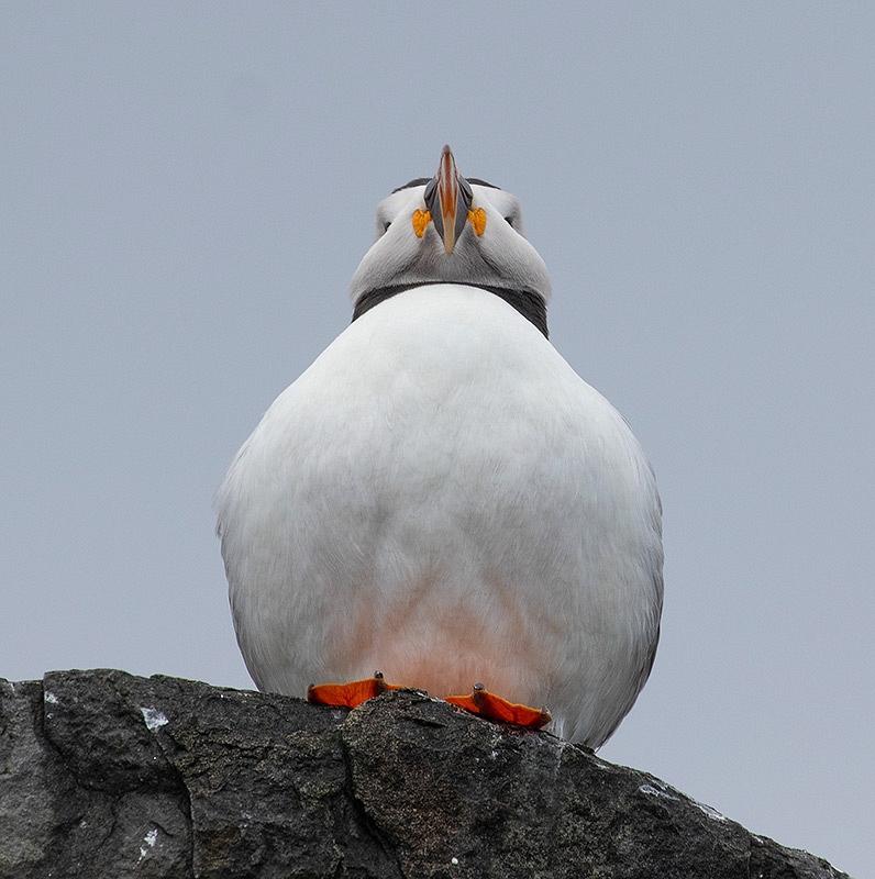 Papegaaiduiker