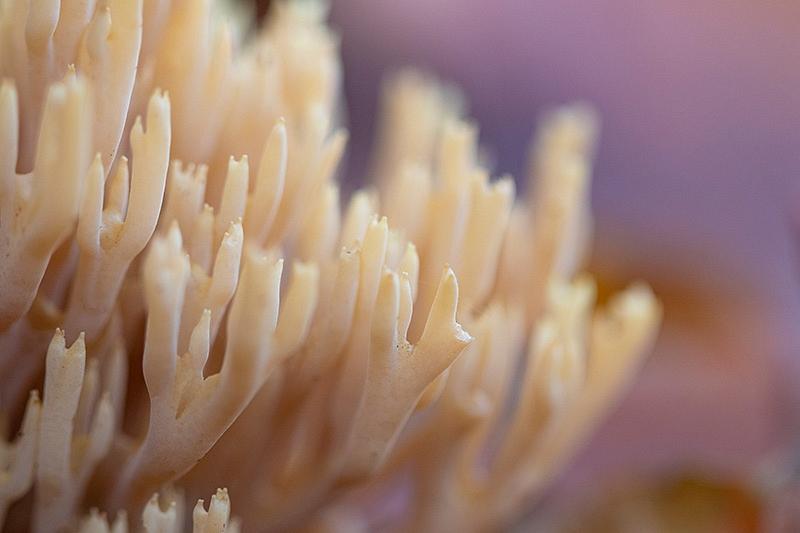 Rechte koraalzwam