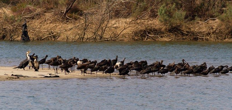 Zwarte Ibis