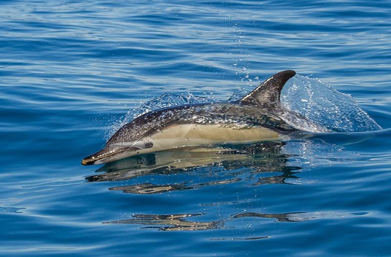 Gewone Dolfijn