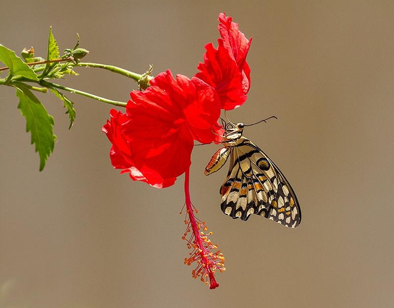 Limoenvlinder