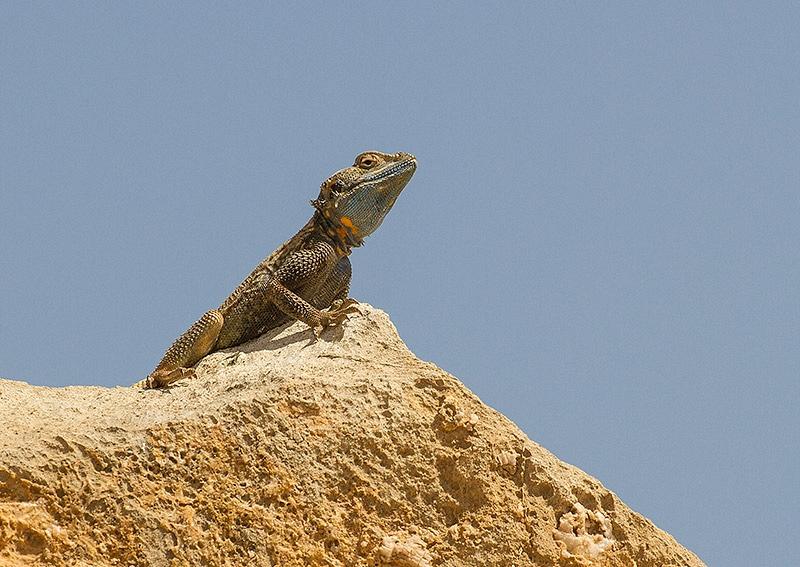 Small-scaled Rockagaam