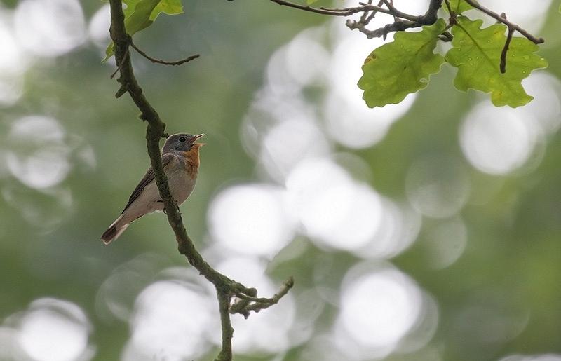 Kleine Vliegenvanger